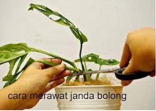 cara merawat tanaman janda bolong