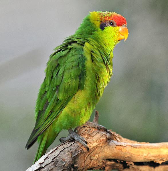 Dalam bahasa Inggris dikenal dengan nama  Mengenal Burung Perkici Iris