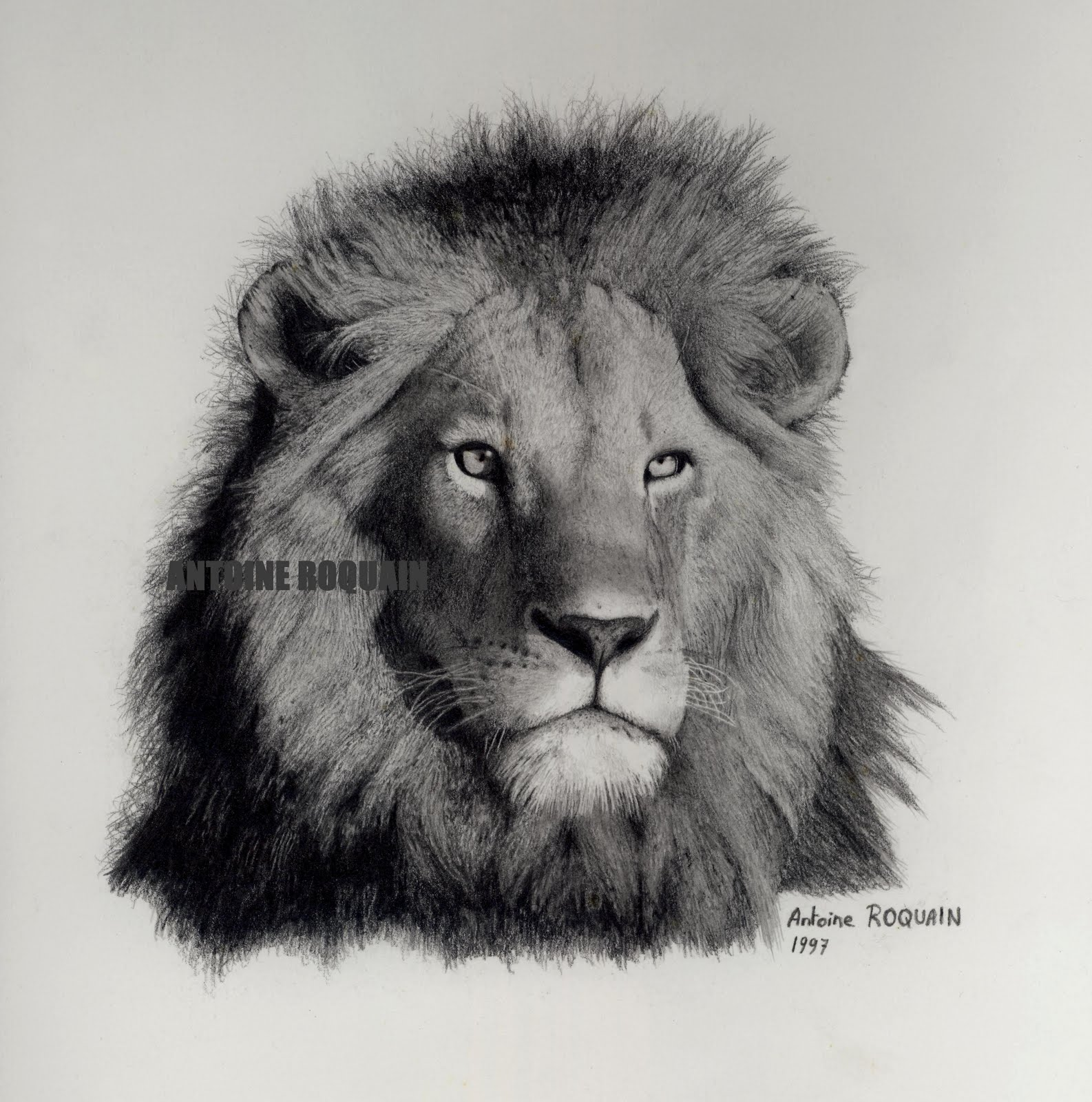antoine roquain dessin animalier wildlife pencil art petit dessin de lion. Black Bedroom Furniture Sets. Home Design Ideas