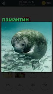 под водой на самом дне плавает ламантин