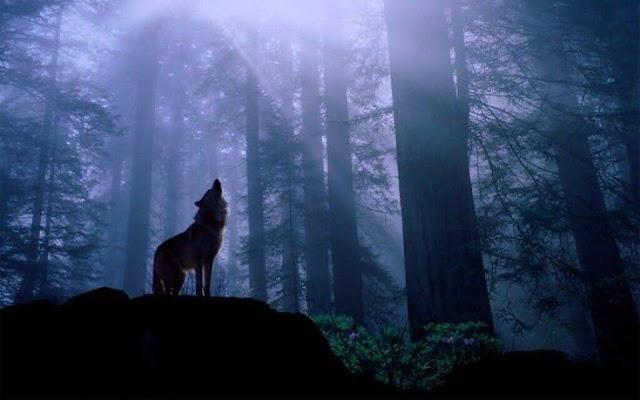 Όλο πιο συχνά στην εξοχή λύκοι επιτίθονται σε ανθρώπους