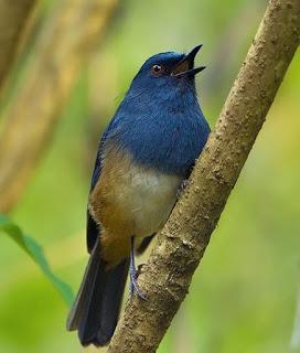 Suara Burung Nilgiri blue robin (Nilgiri Shortwing)