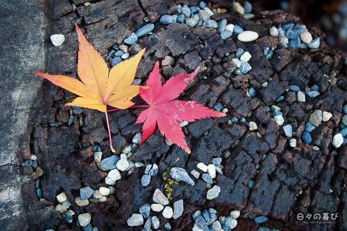 feuilles de momiji sur le sol, sanctuaire Iwashimizu Hachiman-gû, Yawata
