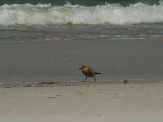 Biegus rdzawy spacerujący po plaży