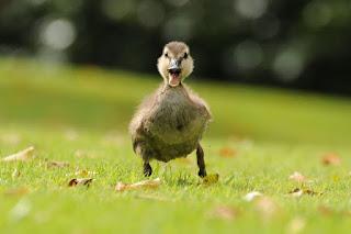 Ducks dream meaning