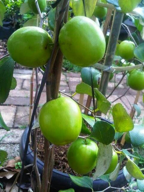 Kualitas Super! Bibit Tanaman Buah Apel Putsa India Kota Bekasi #bibit buah genjah murah