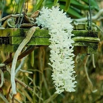 सीतेची वेणी, Foxtail Orchid flowers in Marathi