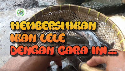 Cara membersihkan ikan lele dengan mengiris Bagian pundaknya