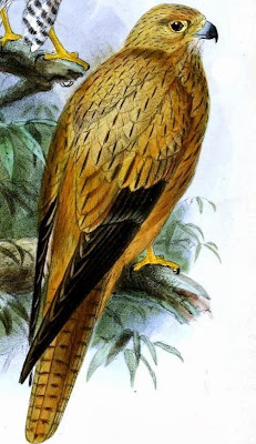 Cernícalo zorruno Falco alopex
