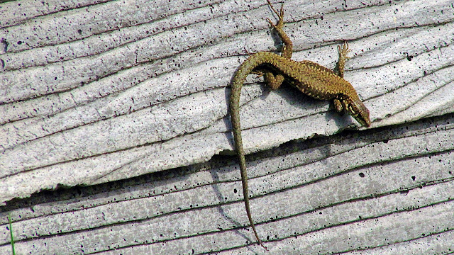 A cold-blooded lizard warms up in the sun...