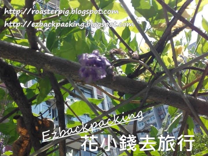九龍灣紫藤