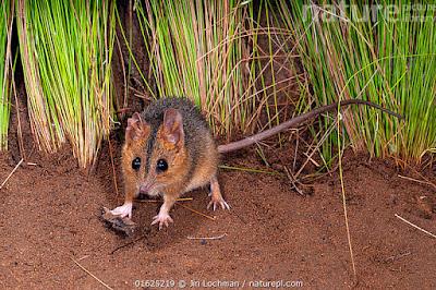 Ratón marsupial mejillas rojas (Sminthopsis viginiae)