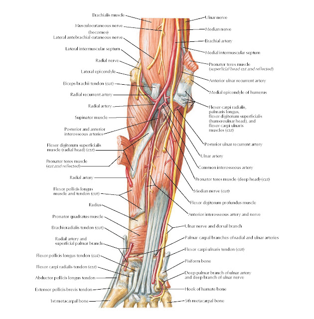 Muscles of Forearm (Deep Layer): Anterior View Anatomy