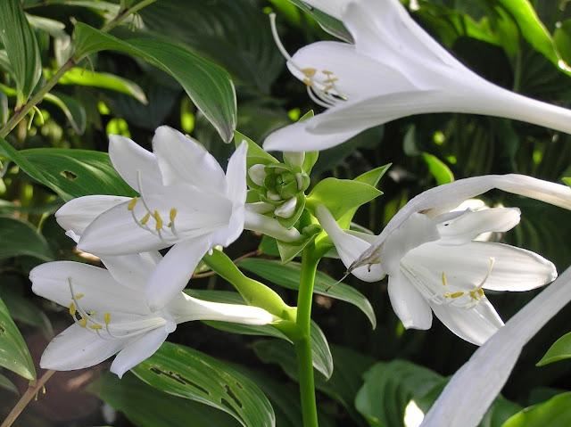 białe kwiaty funkii babkolistnej