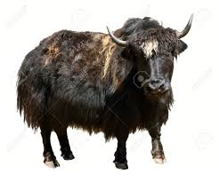 Black Yak Tibetan Animal