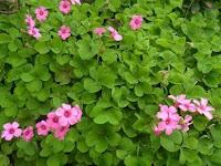 10 Macam Jenis Bunga Yang Bisa Dimakan- Nomor 10 Ternyata Bisa Dimakan Loh!