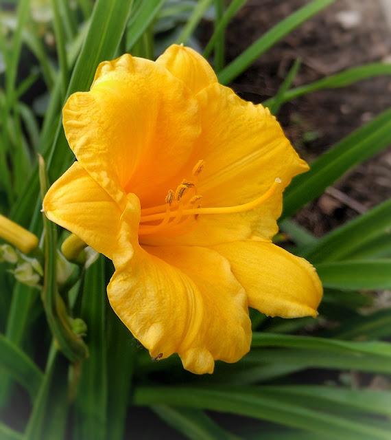 close-up of bright yellow daylily Stella de Oro