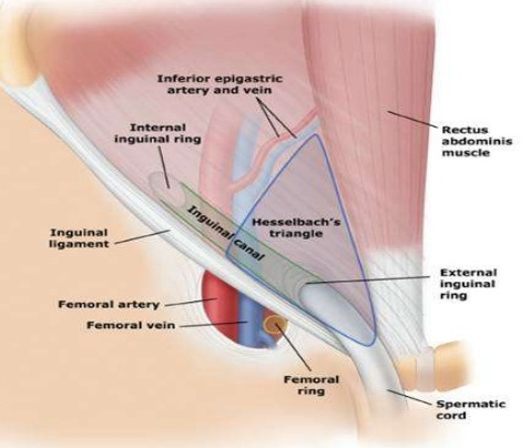 Surgical Anatomy Of Inguinal Canal World Surgery Forum