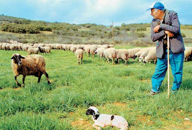 Υποψήφιοι για το 800άρι και οι κτηνοτρόφοι