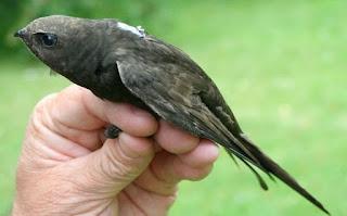 Có một loài chim có thể bay suốt cả năm trời không ngừng nghỉ