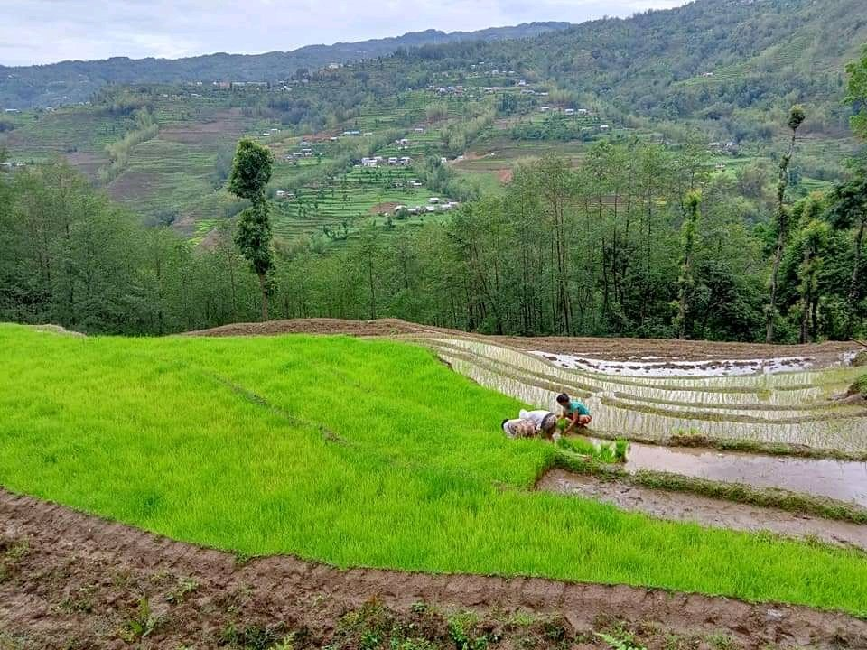 Paddy Farming in Nepal