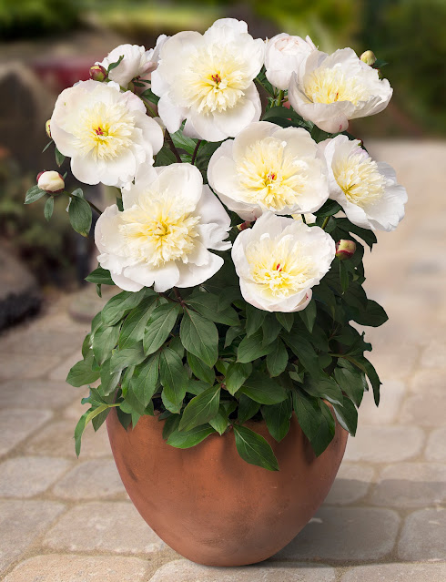 Peonia Madrid Ideal for Pots on your Patio