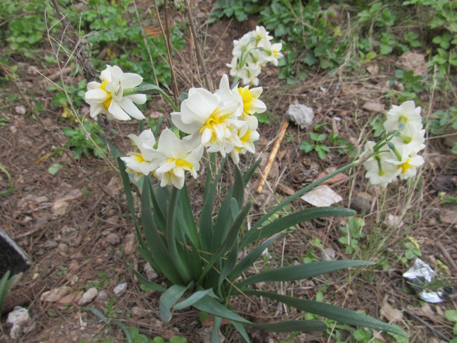 Ağlayan Gelin Çiçeği Nerelerde Yetişir