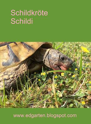 Pin Schildkröte Schildi