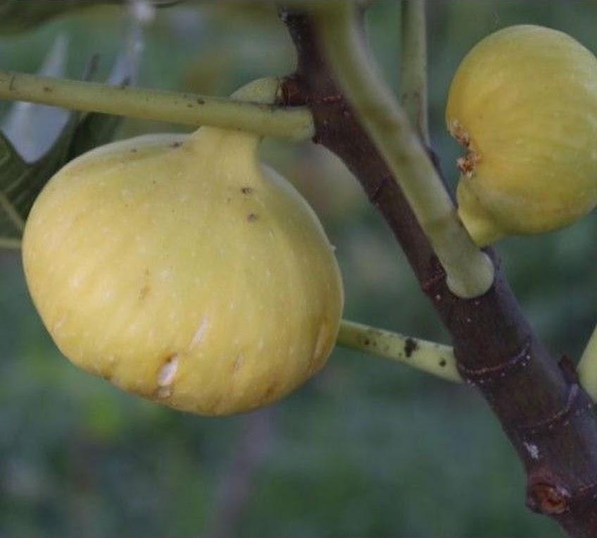 Bibit buah tin Deana besar buah hingga 1 2 Ons Pematangsiantar