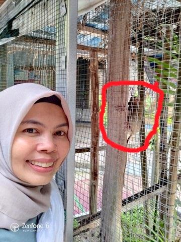tarsius sumatra