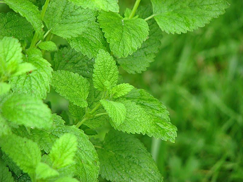 Eau infusee a la melisse recettes bio et fait maison for Plante 8 feuilles