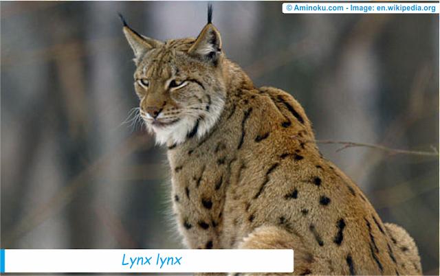 Fakta unik tentang kucing lynx