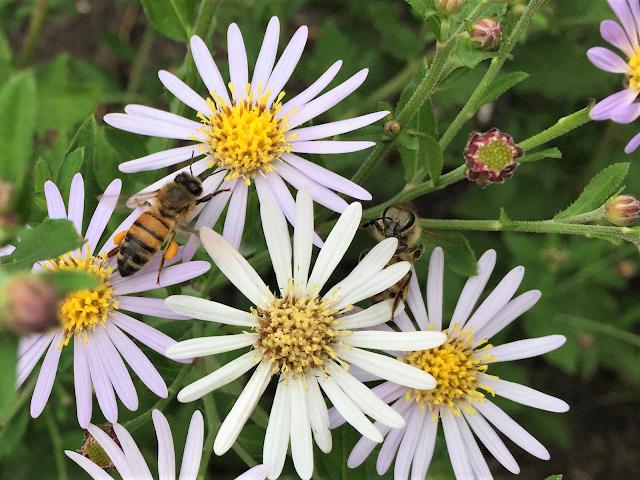 Biene auf Wildaster