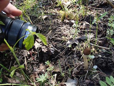 Naparstniczka stożkowata Verpa conica