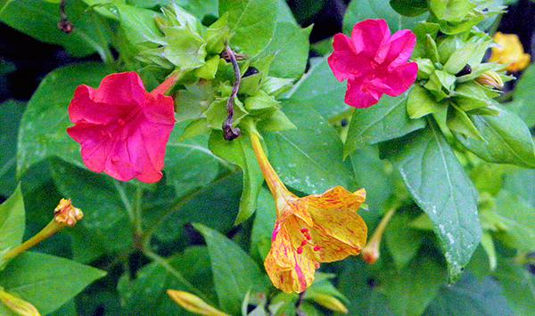two solid magenta blooms, one variegated yellow bloom