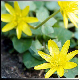 Basur tedavisi kırlangıçotu Sarı çiçek bahat çiçek bahar basur alternatif tedavi altenatif tıp