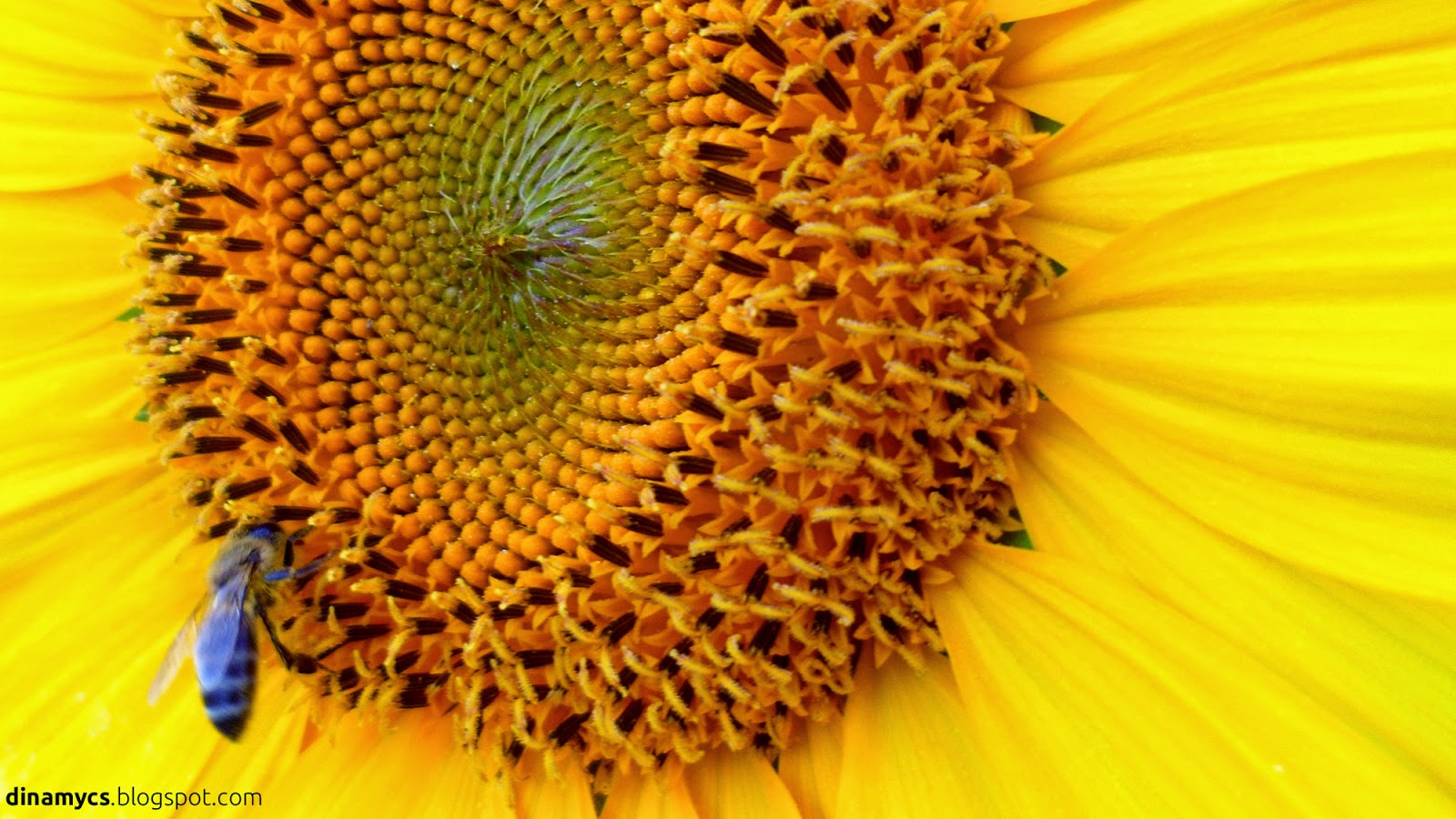 Sunflower wallpaper - fondos de girasoles