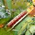 แมลงศัตรู ที่สำคัญของ อะโวคาโด