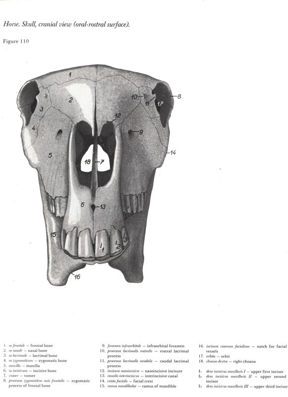 horse-cavalo-skull-anatomy-anatomia-cranio-maxilar-sinusal-sinuses-vetarq