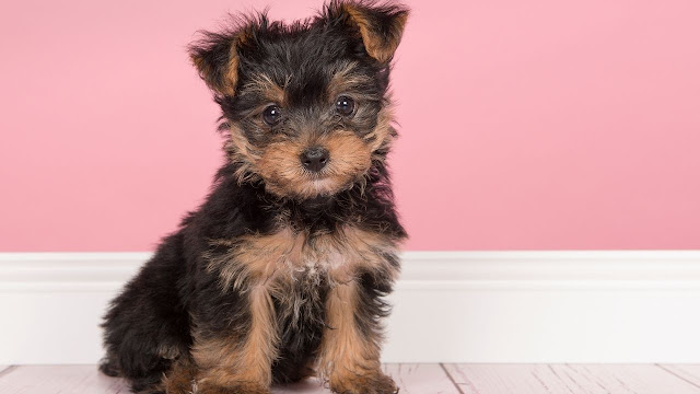 Symptoms that your Yorkie is in heat