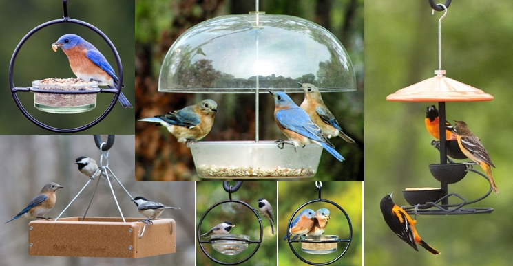 not winter our feeders is did on clear migrate with blog summer fact to berries all fruits bluebird many old feeder ate suet occasional of bluebirds eastern county dawn and visits the matter oakland img