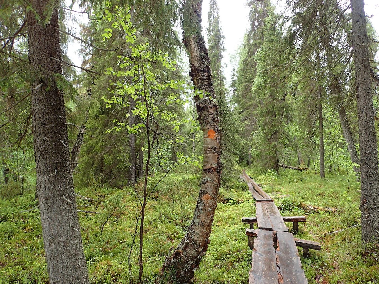 Pitkospuita metsäpolulla