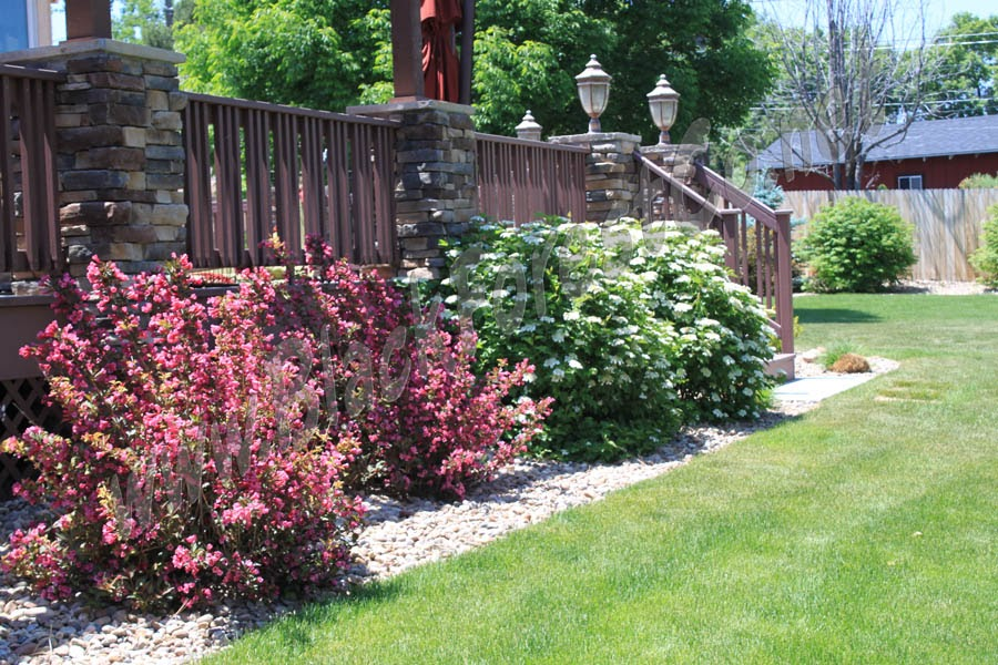 Weigela Wine And Roses Companion Plants Pics Download