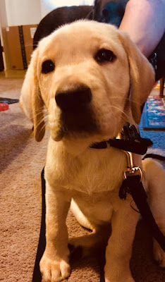 A Yellow Labrador retriever puppy looks into the camera.