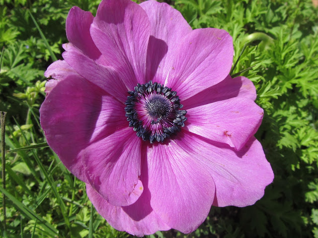 Fiore anemone coronaria