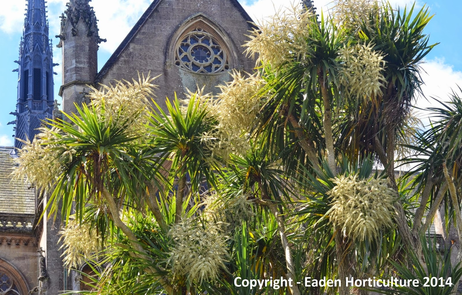 how to grow cordyline from seed