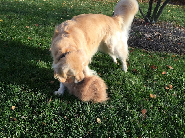 Golden Retriever chewing on costume