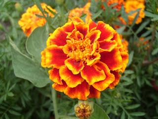 flor copete Tagetes patula