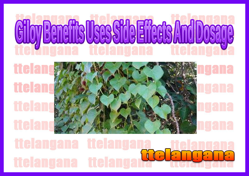 Giloy Benefits Uses Side Effects And Dosage