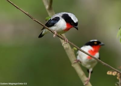 Saíra-apaunhalada, Nemosia rourei, Cherry-throated Tanager, Cherry-throated, Tanager  aves, aves do Brasil, Birds, natureza e conservação, nature, birding, birdwatching, extinção, aves ameaçadas